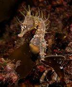 Hippocampus_breviceps